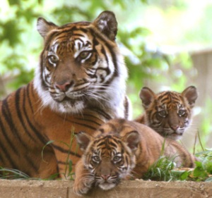 tigress-and-cubs